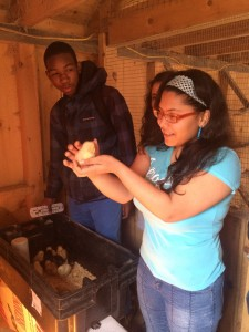 Students transfer baby chicks into the their new coop as part of the environmental ventures program.
