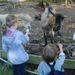Feeding Goats 2