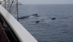Humpback whales spotted off the side of the Schooner Roseway