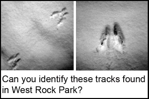 Animal tracks left in the snow of West Rock Park.