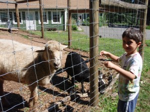 A boy feeds the sheep and goat in the animal yards at Common Ground.