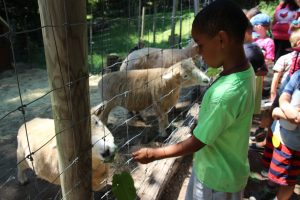 A young boy feeds knotweed to eager sheep at our urban farm.