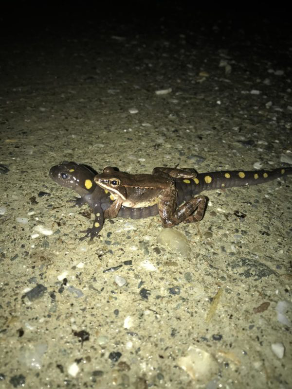 yellow-spotted salamander carrying a wood frog